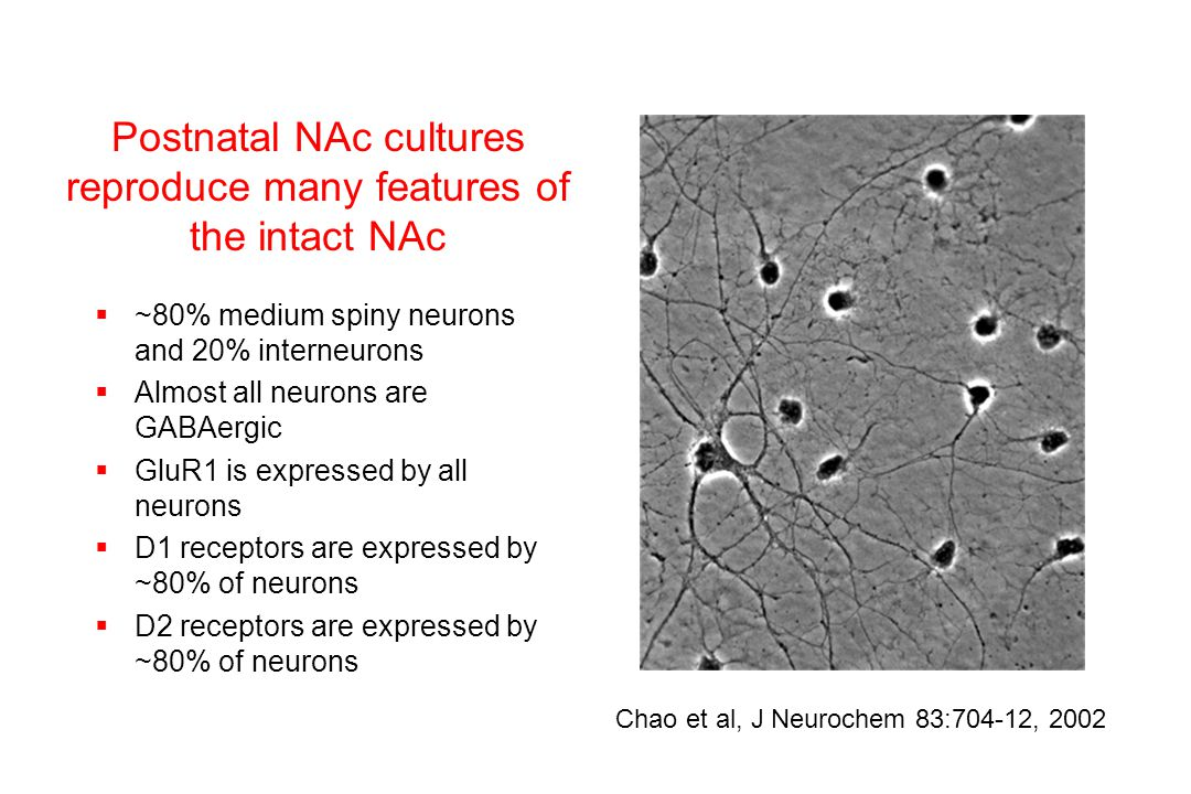 Postnatal NAc cultures reproduce many features of the intact NAc