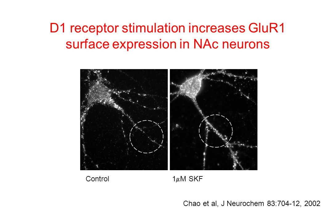 D1 receptor stimulation increases GluR1 surface expression in NAc neurons