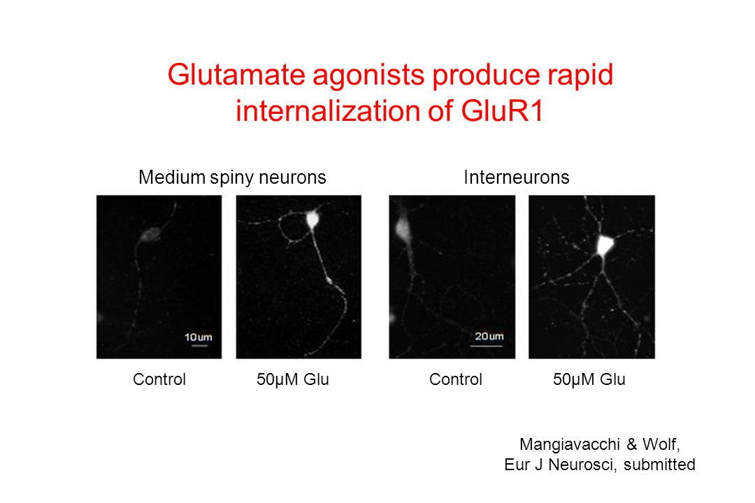 Glutamate agonists produce rapid internalization of GluR1