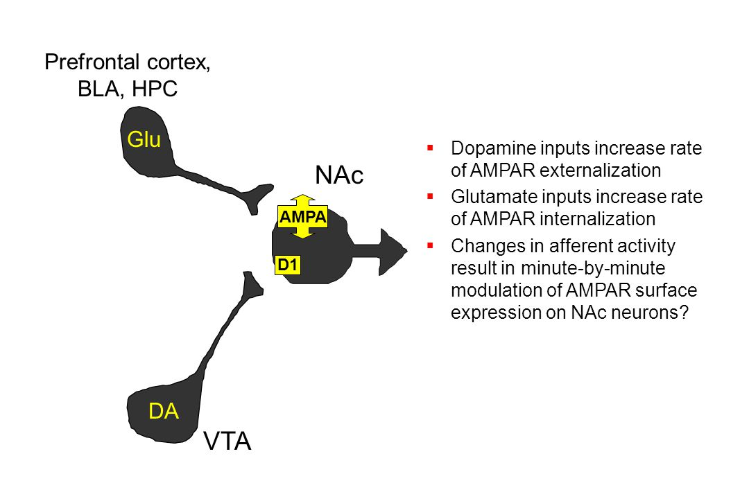 Prefrontal cortex, BLA, HPC