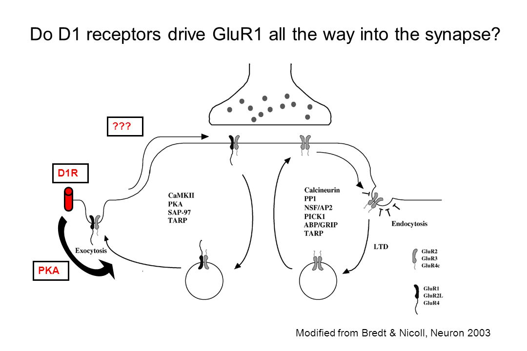 Do D1 receptors drive GluR1 all the way into the synapse
