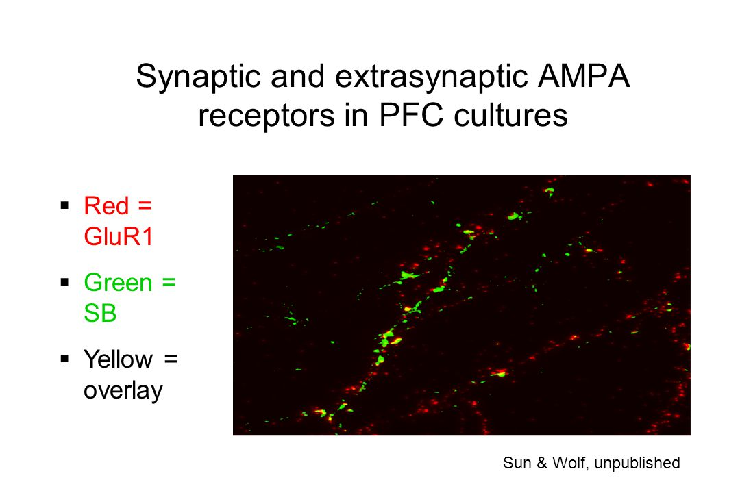 Synaptic and extrasynaptic AMPA receptors in PFC cultures