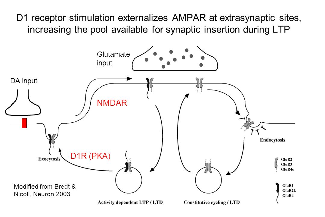 D1 receptor stimulation externalizes AMPAR at extrasynaptic sites, increasing the pool available for synaptic insertion during LTP