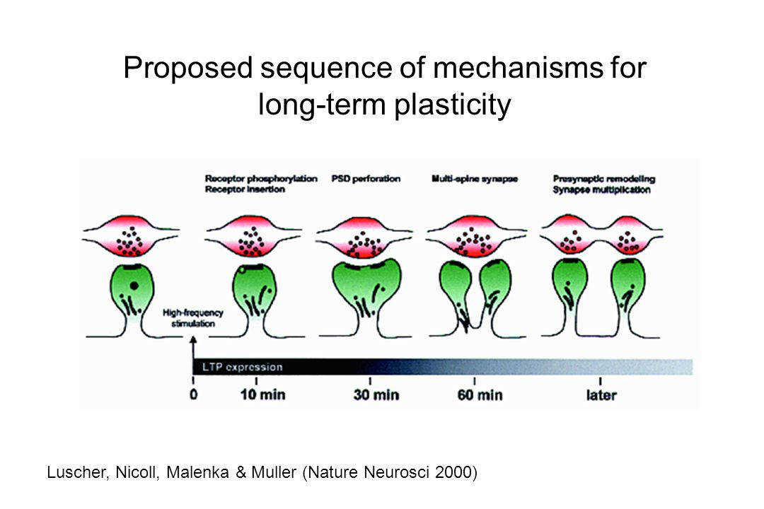 Proposed sequence of mechanisms for long-term plasticity