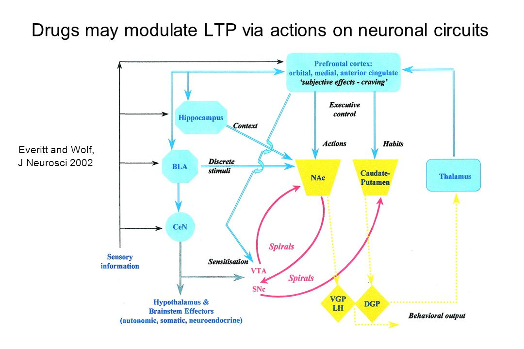 Drugs may modulate LTP via actions on neuronal circuits