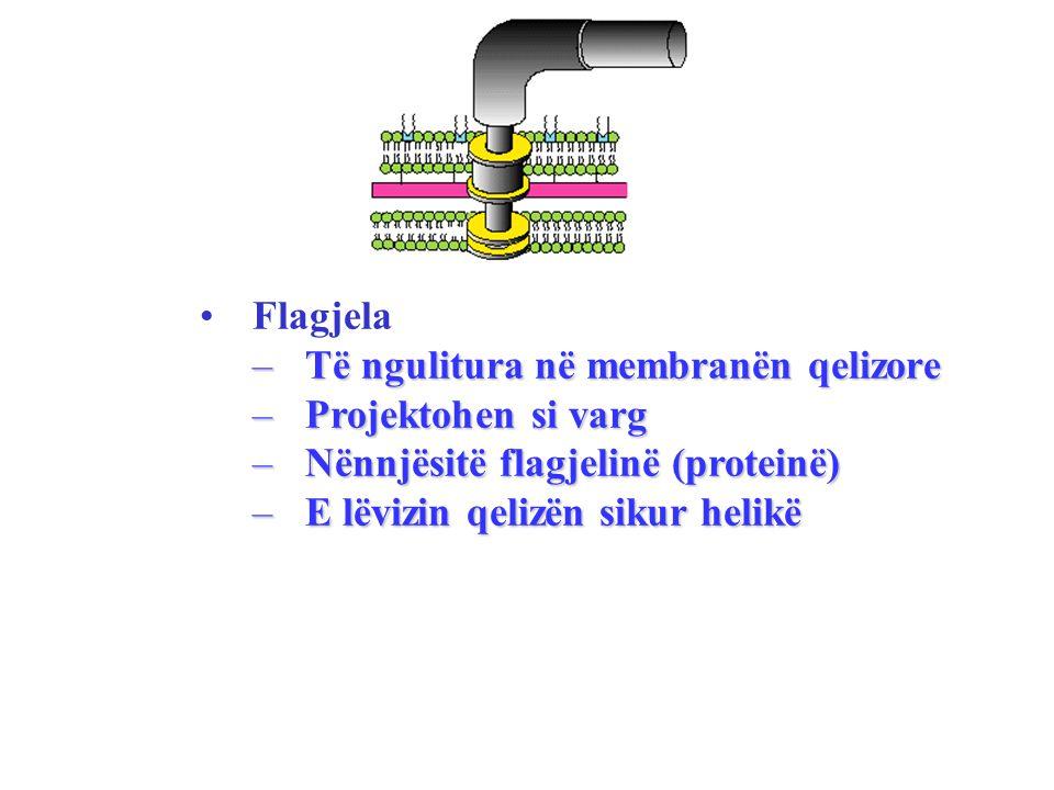 Flagjela Të ngulitura në membranën qelizore. Projektohen si varg. Nënnjësitë flagjelinë (proteinë)