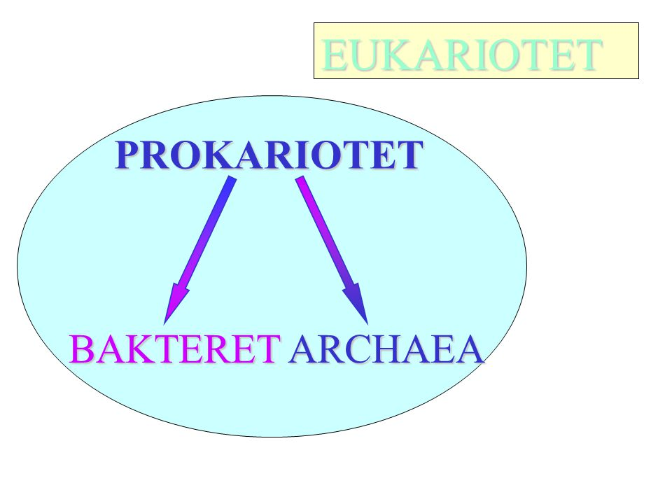 EUKARIOTET PROKARIOTET BAKTERET ARCHAEA