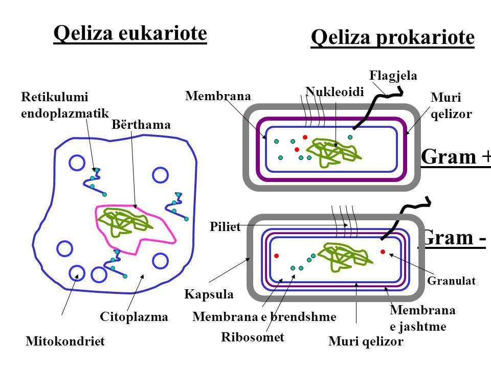Qeliza eukariote Qeliza prokariote Gram + Gram - Flagjela Nukleoidi