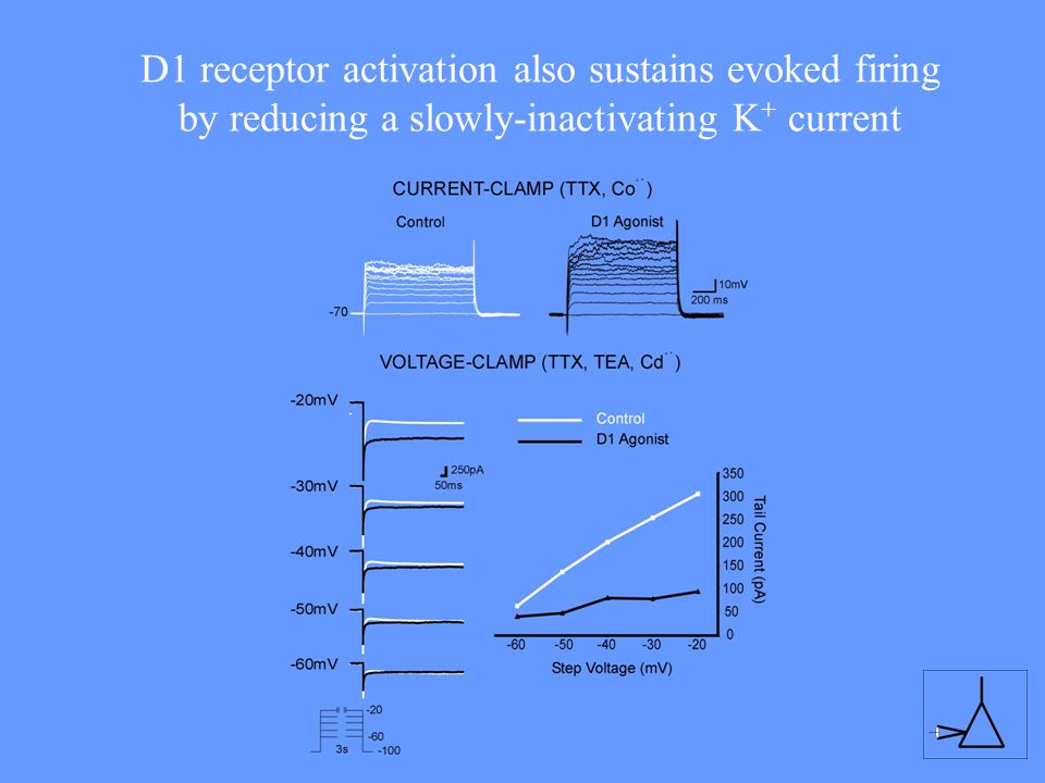 D1 receptor activation also sustains evoked firing by reducing a slowly-inactivating K+ current