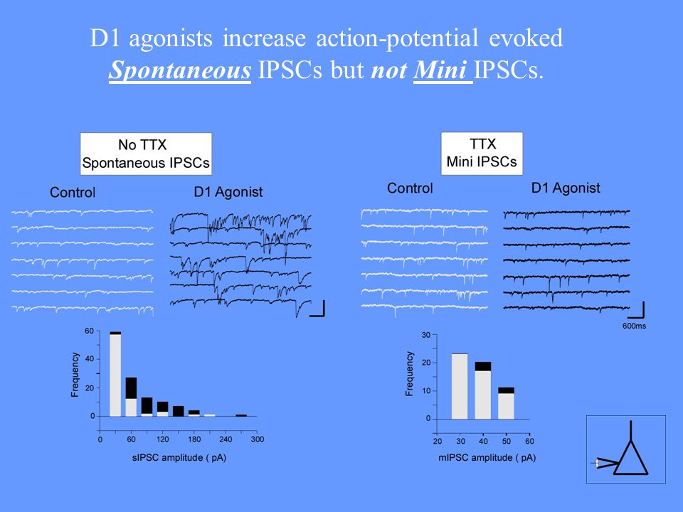 D1 agonists increase action-potential evoked