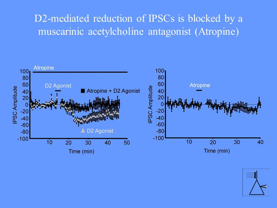 D2-mediated reduction of IPSCs is blocked by a muscarinic acetylcholine antagonist (Atropine)