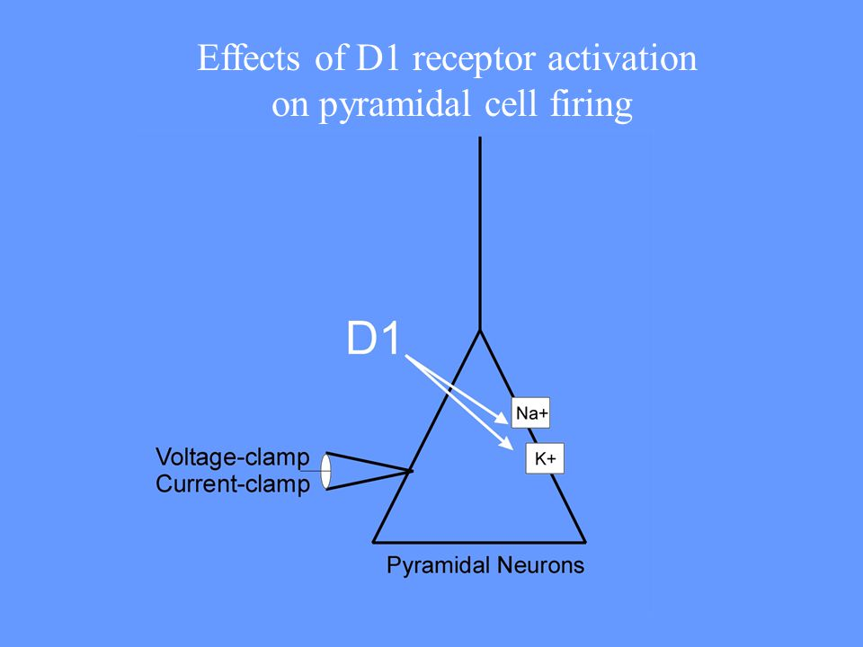 Effects of D1 receptor activation on pyramidal cell firing