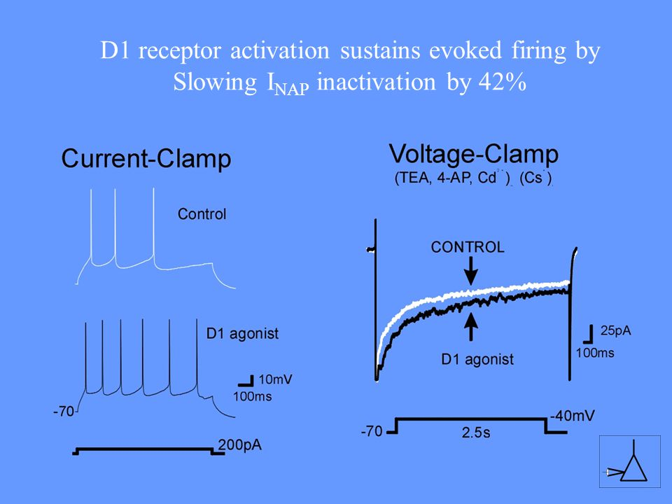 D1 receptor activation sustains evoked firing by Slowing INAP inactivation by 42%