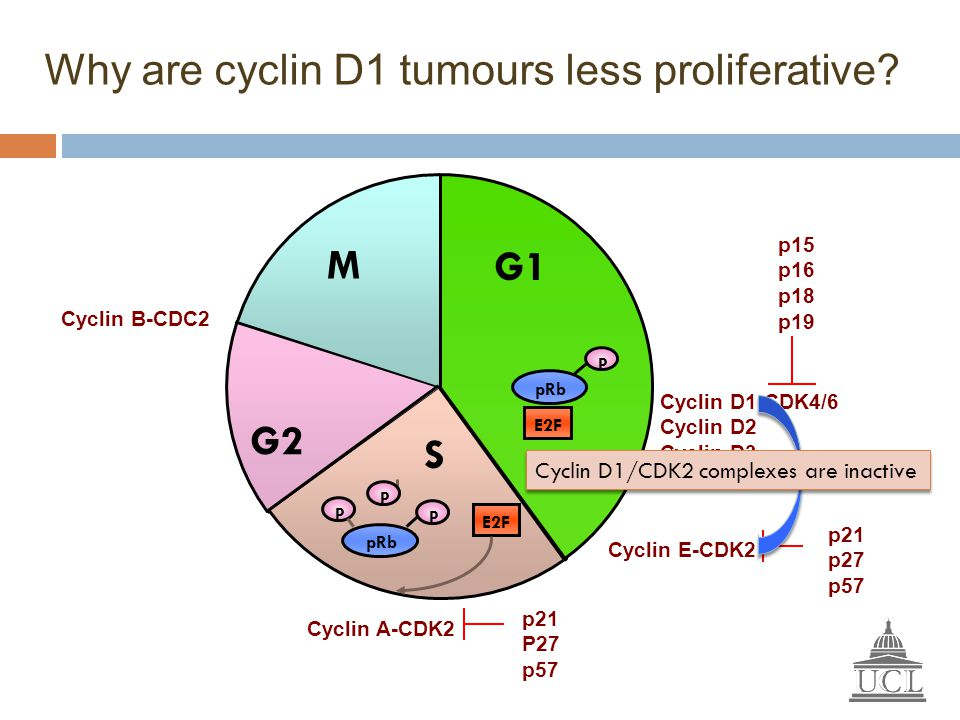 Why are cyclin D1 tumours less proliferative