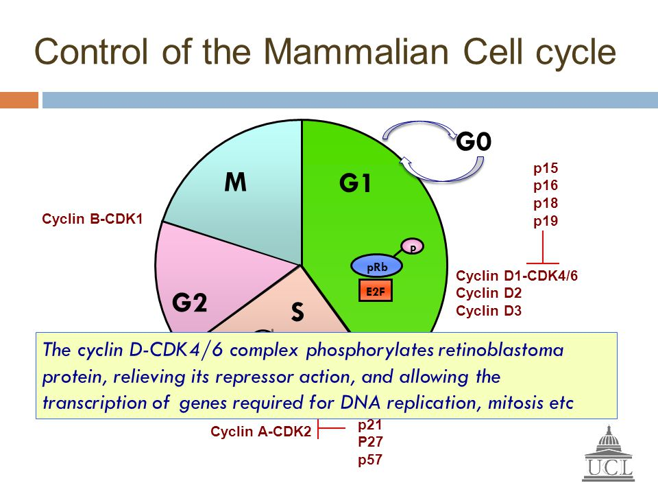 Control of the Mammalian Cell cycle