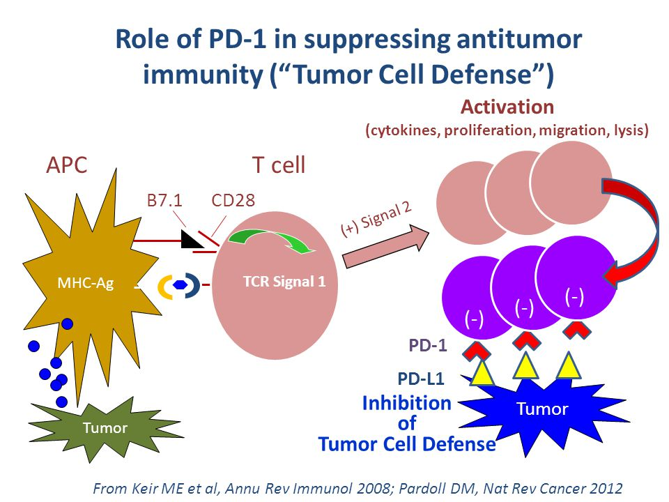Role of PD-1 in suppressing antitumor immunity ( Tumor Cell Defense )