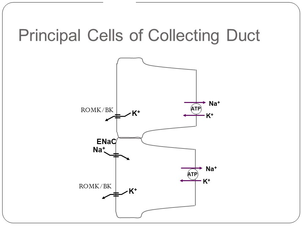 Principal Cells of Collecting Duct