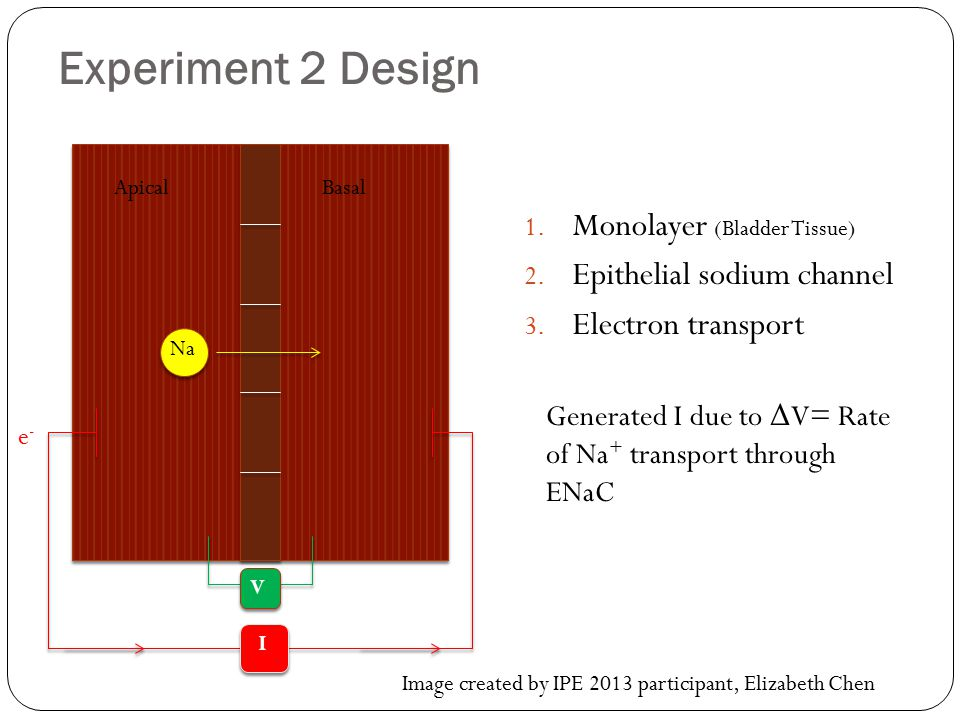 Experiment 2 Design Monolayer (Bladder Tissue)