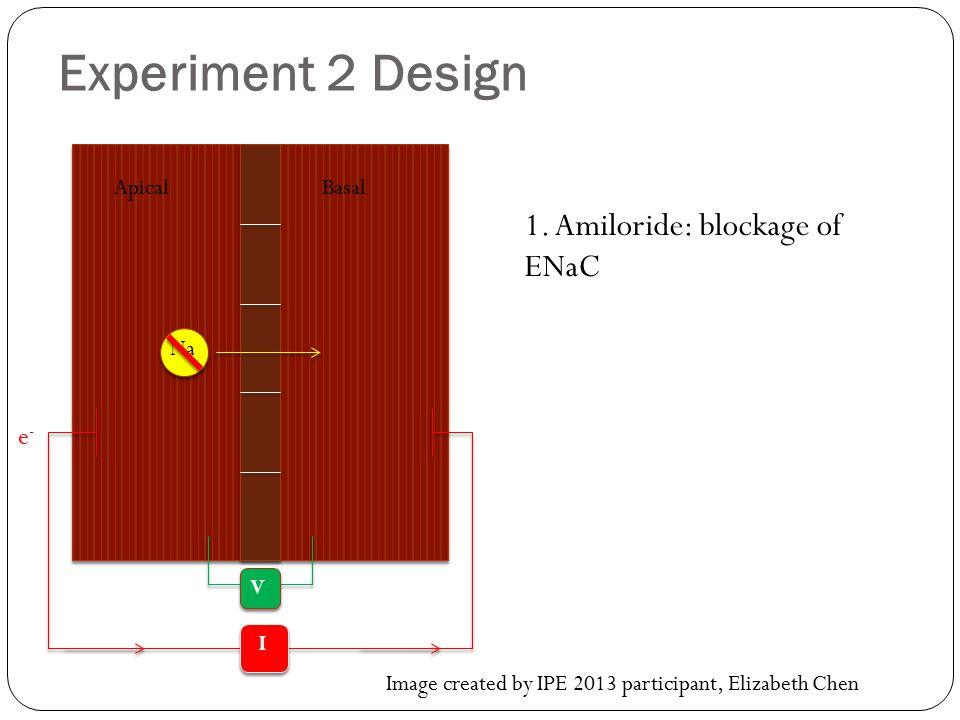 Experiment 2 Design 1. Amiloride: blockage of ENaC e- Apical Basal Na