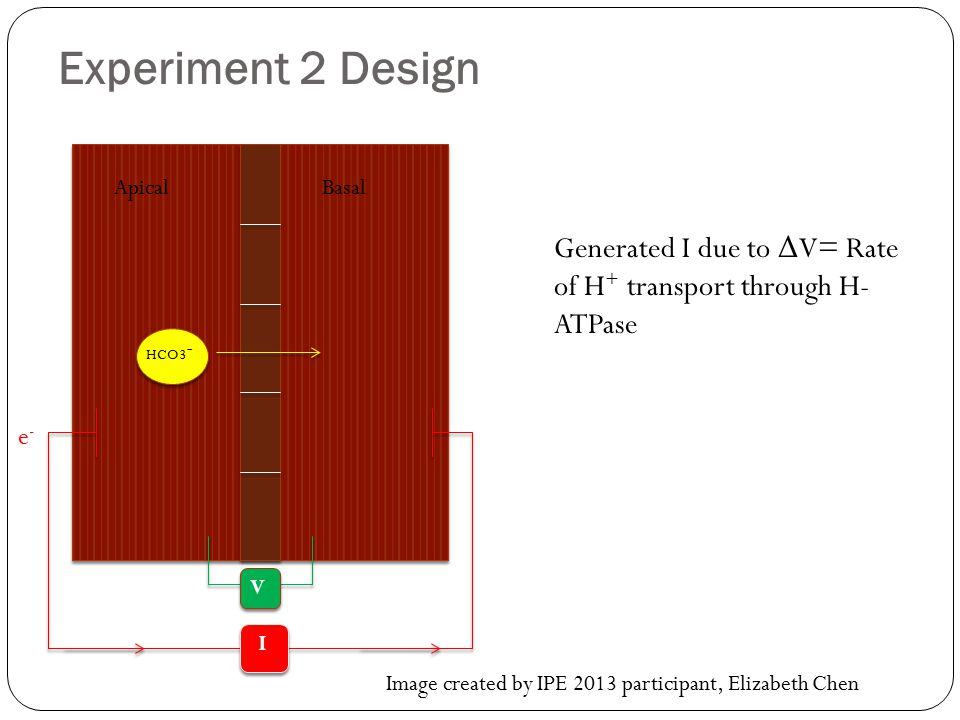 Experiment 2 Design Apical. Basal. Generated I due to ΔV= Rate of H+ transport through H-ATPase. HCO3-