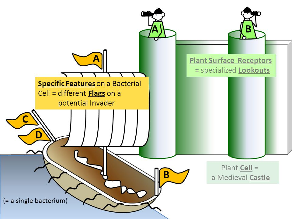 A B B C D A Plant Surface Receptors = specialized Lookouts