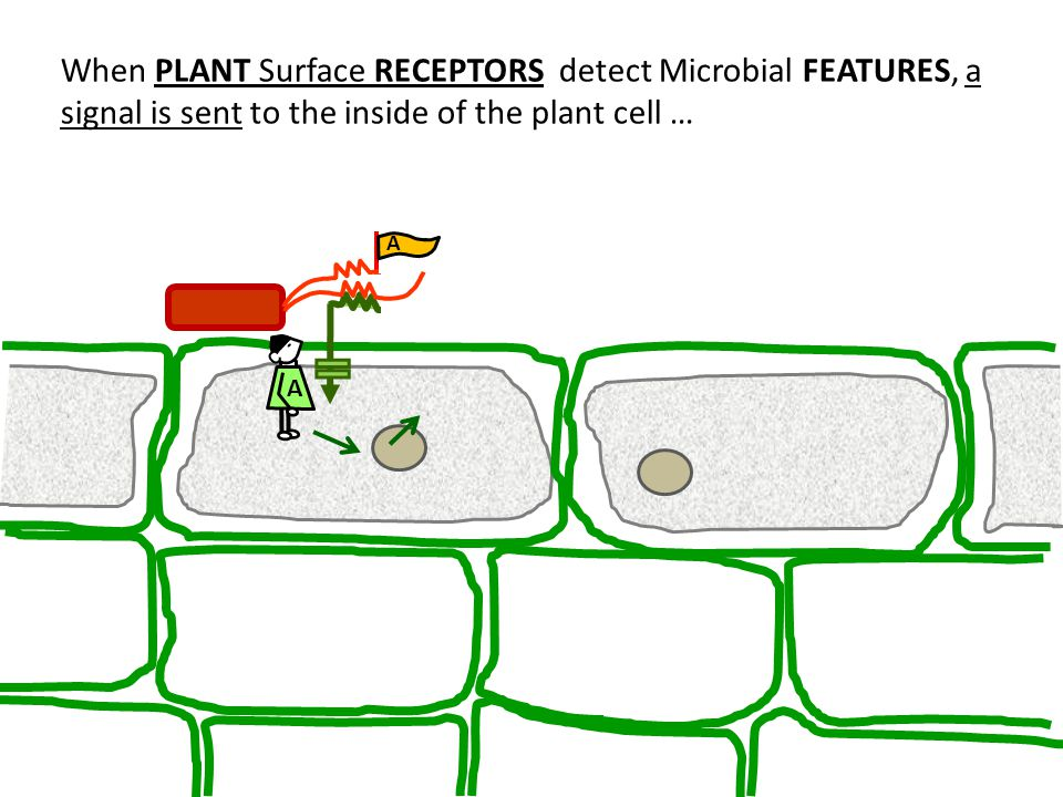 When PLANT Surface RECEPTORS detect Microbial FEATURES, a signal is sent to the inside of the plant cell …