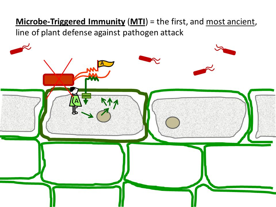 Microbe-Triggered Immunity (MTI) = the first, and most ancient, line of plant defense against pathogen attack