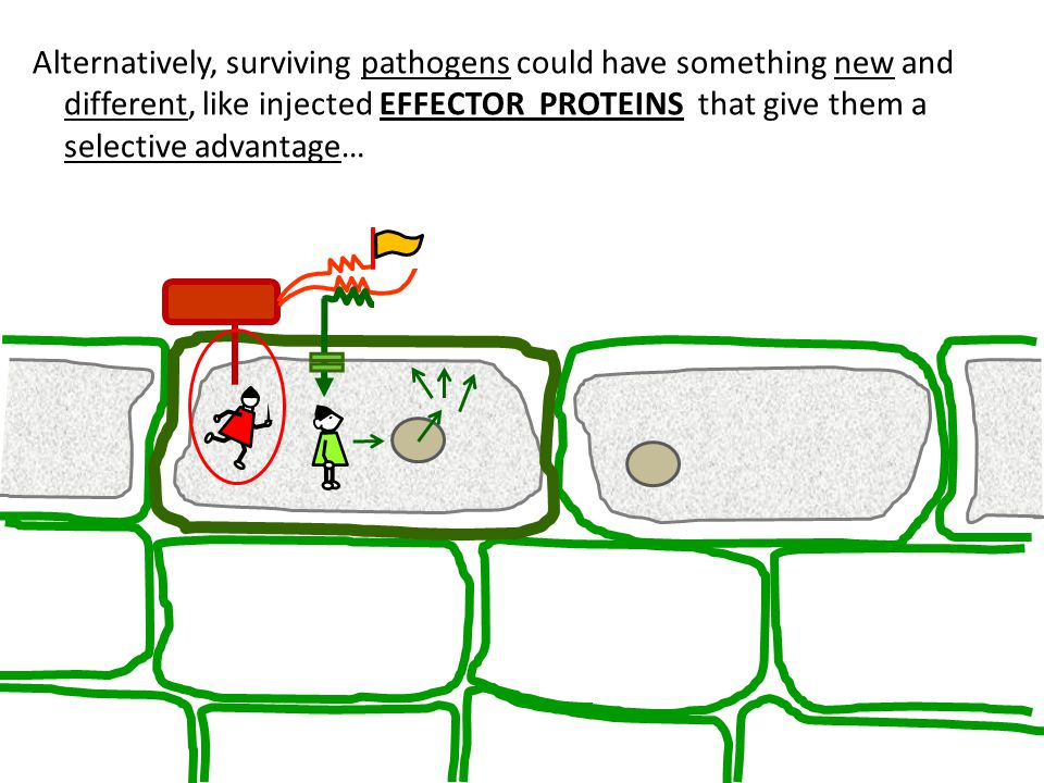 Alternatively, surviving pathogens could have something new and different, like injected EFFECTOR PROTEINS that give them a selective advantage…