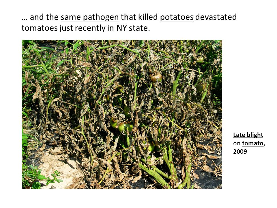 … and the same pathogen that killed potatoes devastated tomatoes just recently in NY state.
