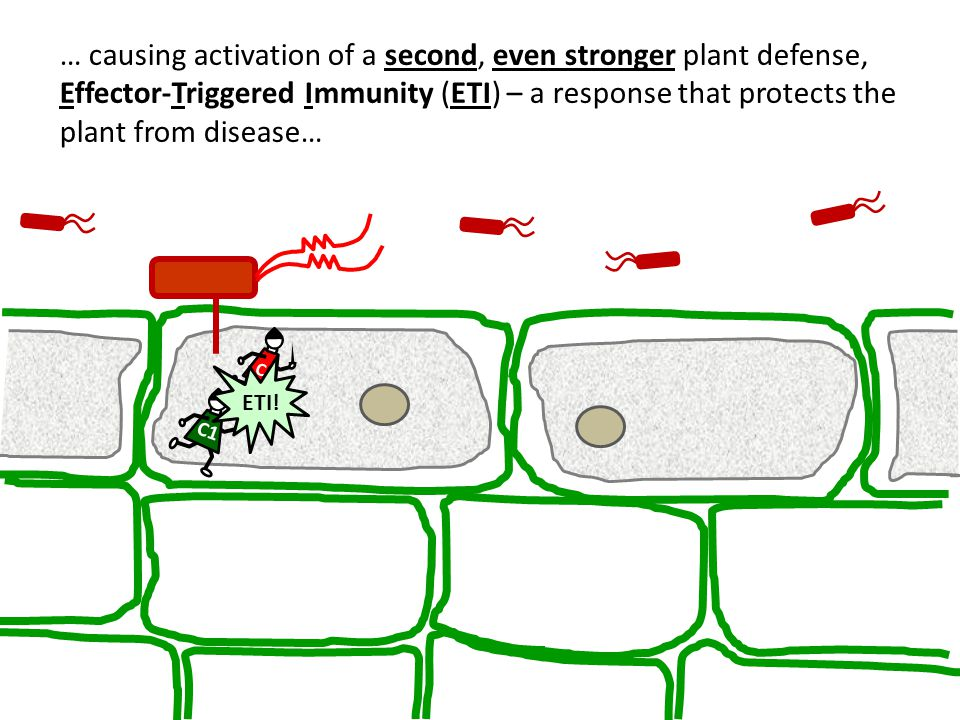 … causing activation of a second, even stronger plant defense, Effector-Triggered Immunity (ETI) – a response that protects the plant from disease…