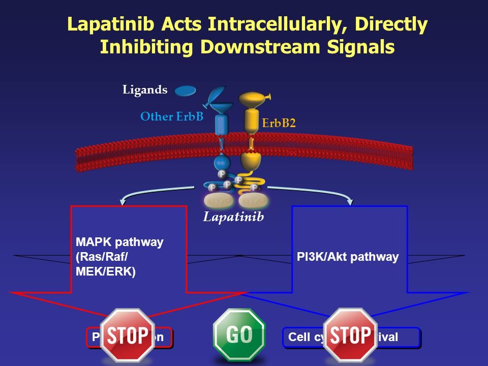 Lapatinib Acts Intracellularly, Directly Inhibiting Downstream Signals