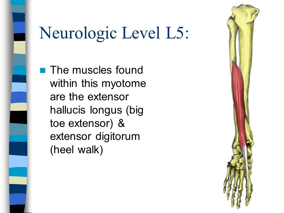 Neurologic Level L5: The muscles found within this myotome are the extensor hallucis longus (big toe extensor) & extensor digitorum (heel walk)