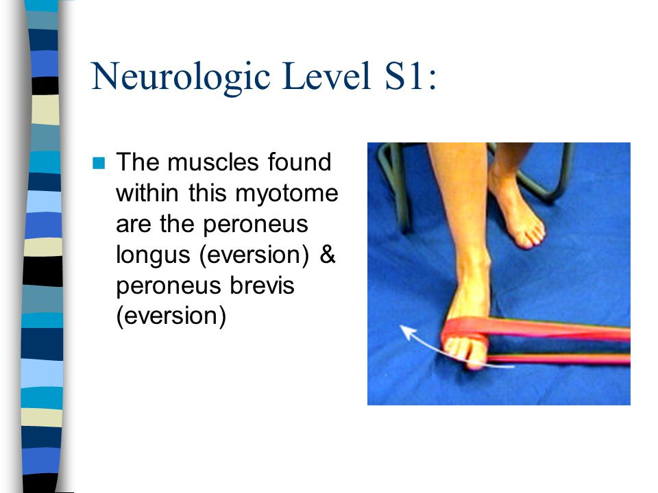 Neurologic Level S1: The muscles found within this myotome are the peroneus longus (eversion) & peroneus brevis (eversion)
