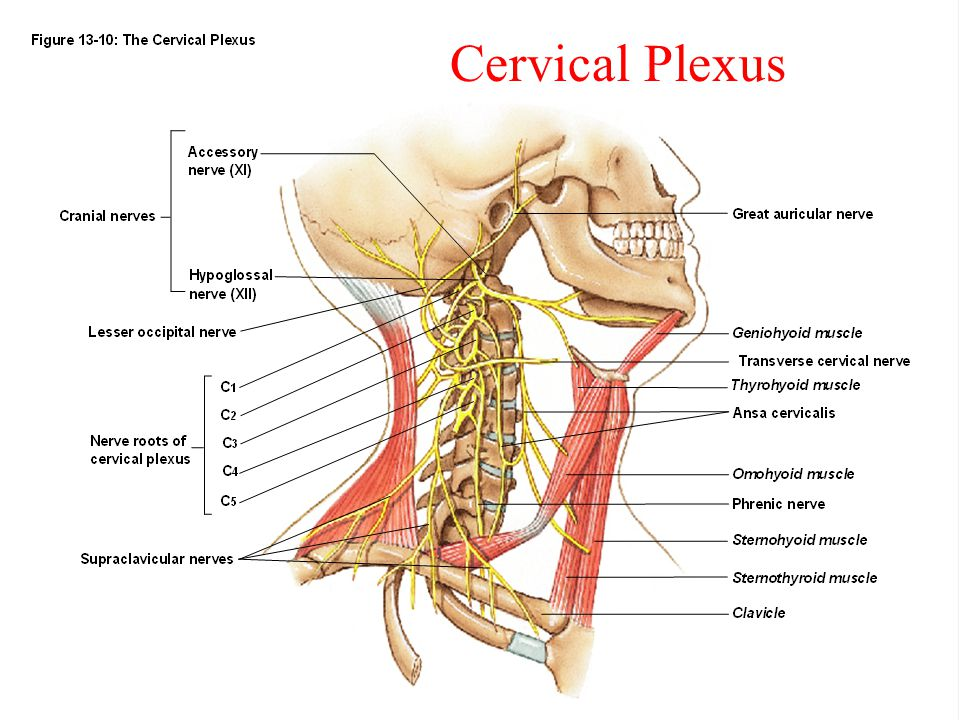 Dorable Cervical Nerve Anatomy Image Collection - Anatomy And ...