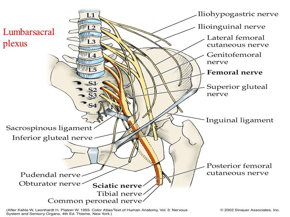 Lumbarsacral plexus