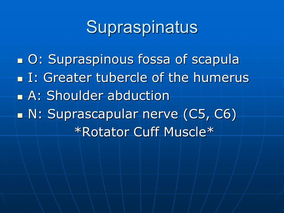 Supraspinatus O: Supraspinous fossa of scapula