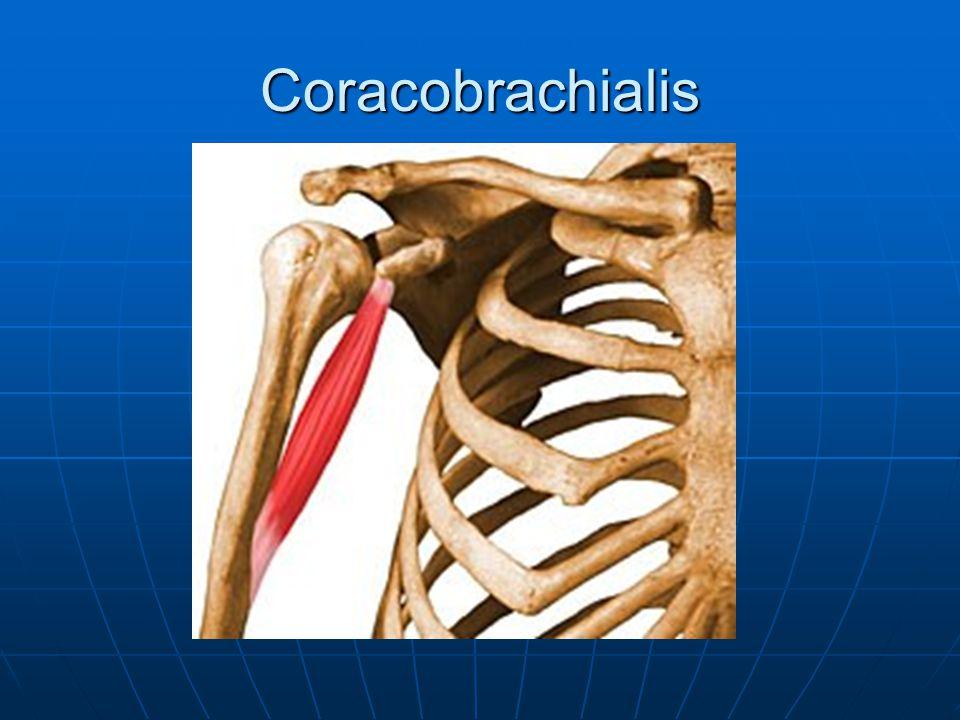 Coracobrachialis