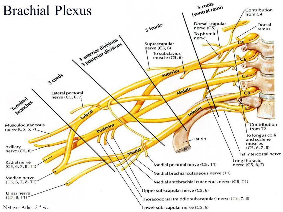 Brachial Plexus Netter's Atlas 2nd ed