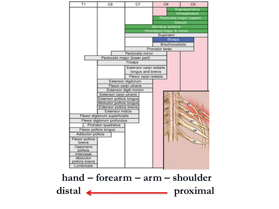 hand – forearm – arm – shoulder distal proximal