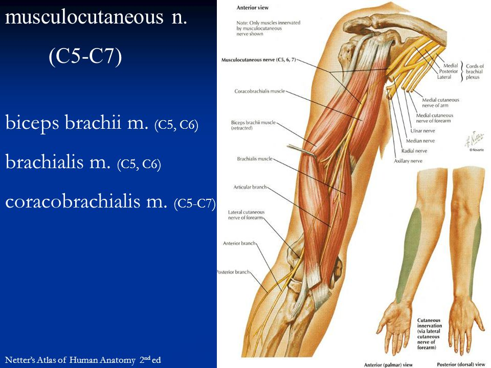 coracobrachialis m. (C5-C7)