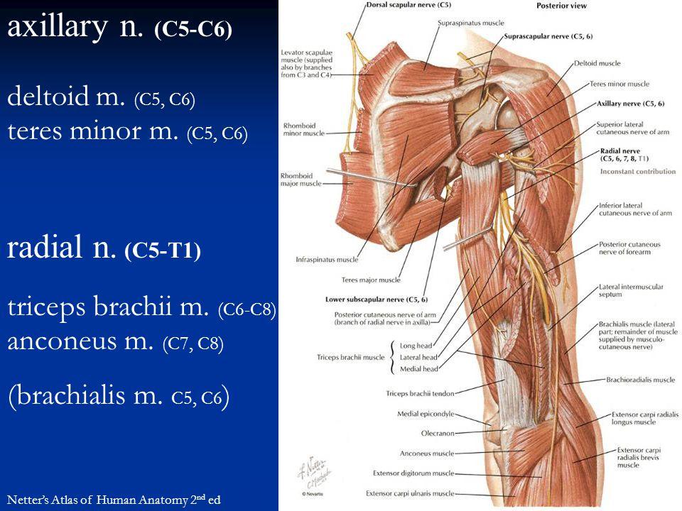 axillary n. (C5-C6) radial n. (C5-T1) deltoid m. (C5, C6)