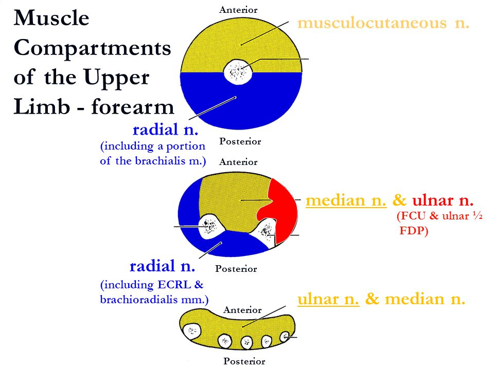 Muscle Compartments of the Upper Limb - forearm
