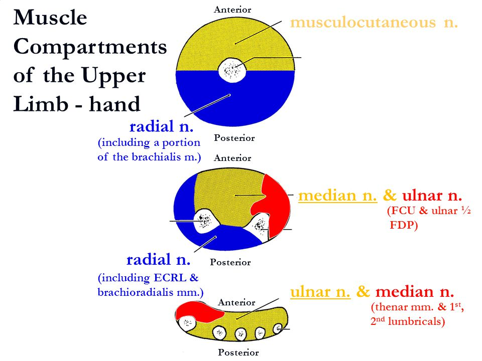 Muscle Compartments of the Upper Limb - hand