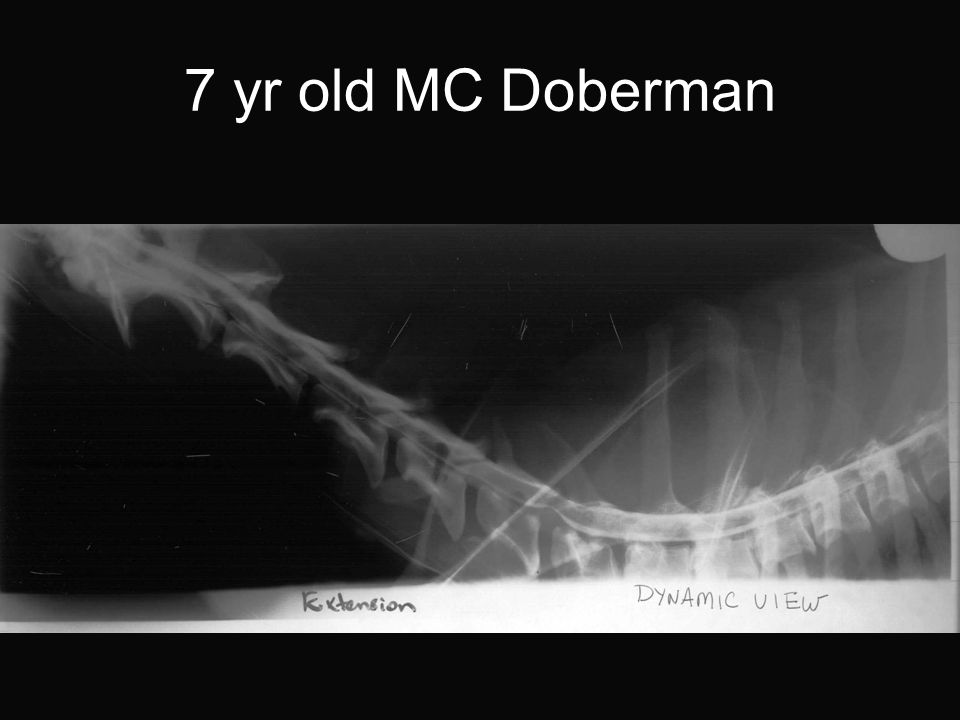 7 yr old MC Doberman