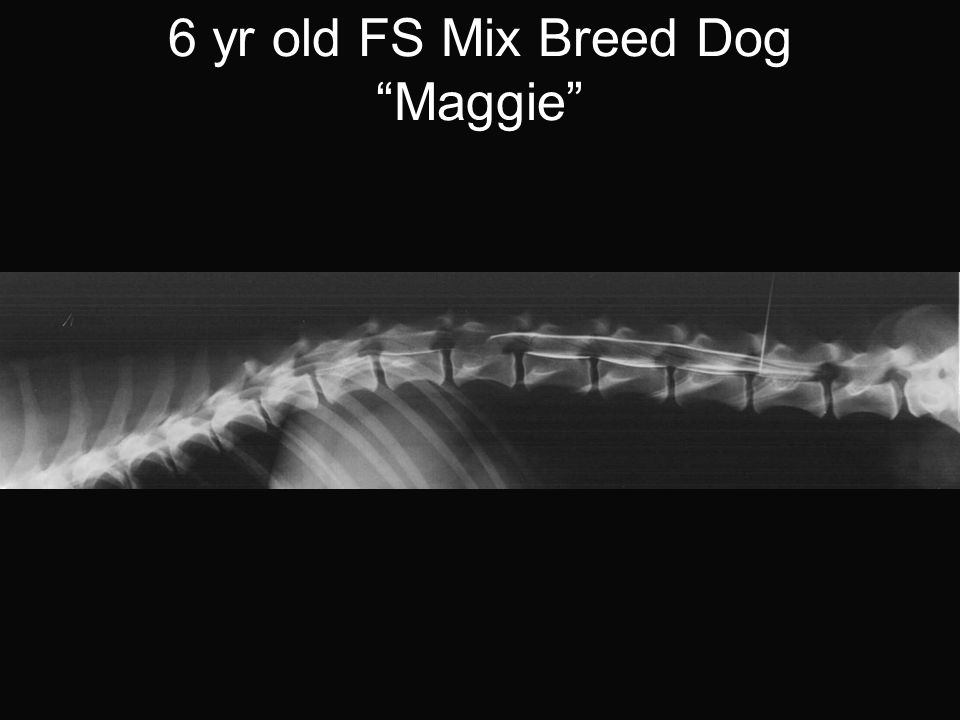 6 yr old FS Mix Breed Dog Maggie