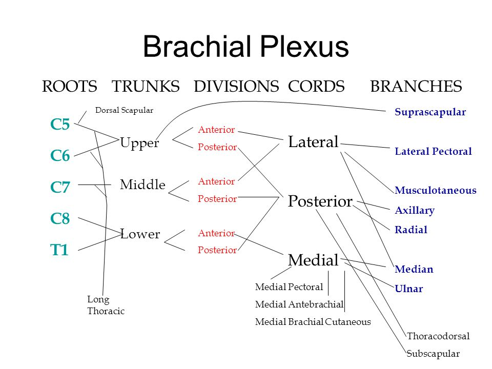 Brachial Plexus ROOTS TRUNKS DIVISIONS CORDS BRANCHES Lateral