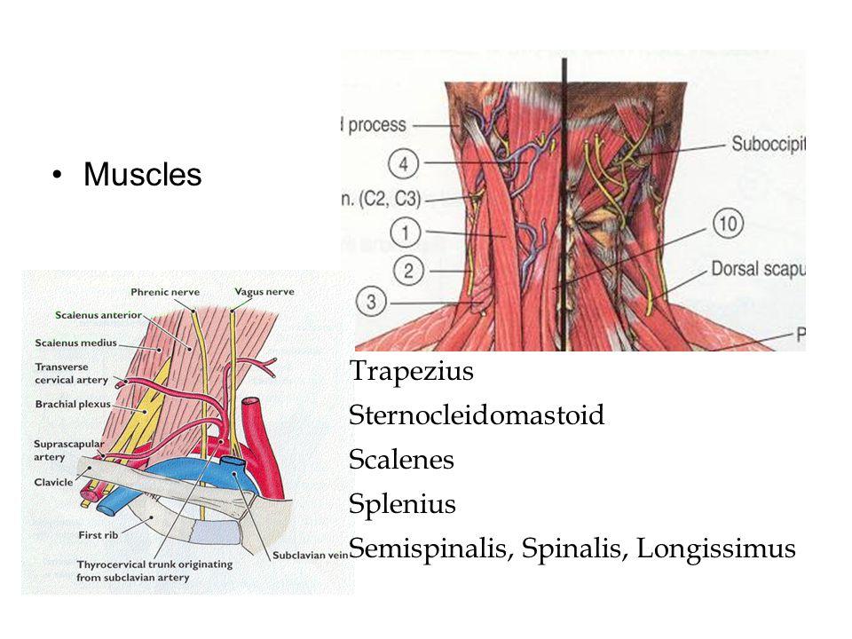 Muscles Trapezius Sternocleidomastoid Scalenes Splenius