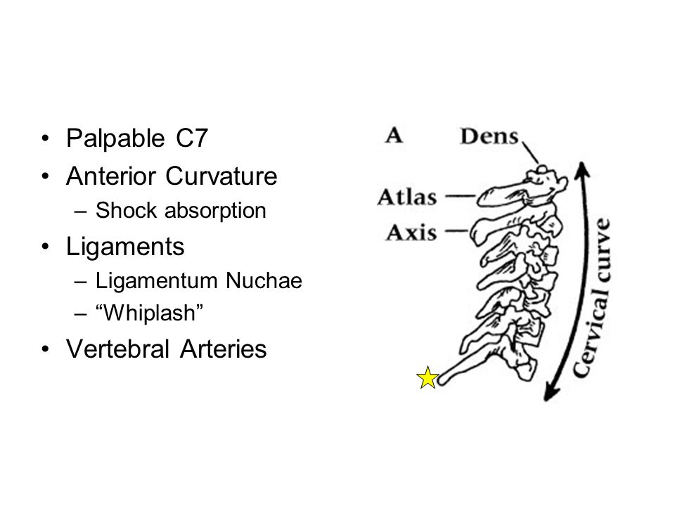 Palpable C7 Anterior Curvature Ligaments Vertebral Arteries