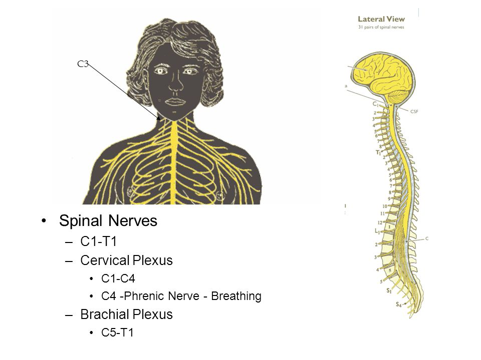 Spinal Nerves C1-T1 Cervical Plexus Brachial Plexus C1-C4