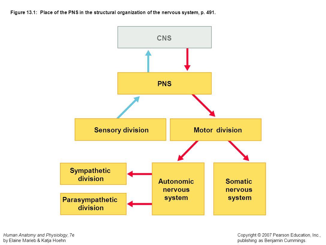 CNS PNS Sensory division Motor division Sympathetic division Autonomic
